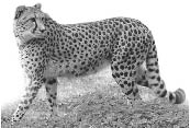 cheetah.eps